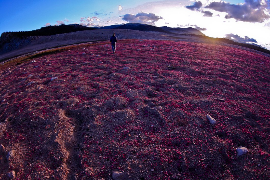 A field of monkeyflowers captivates a Golden Trout hiker